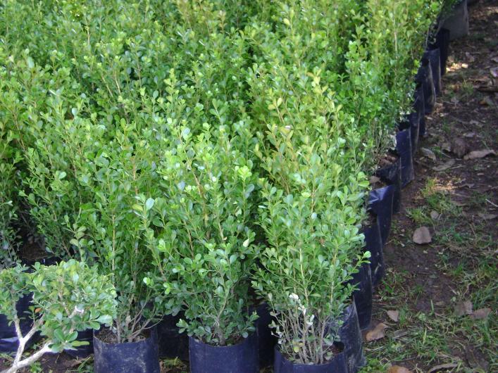 Viveros juarez productores de plantas de hornamento en for Viveros y plantas