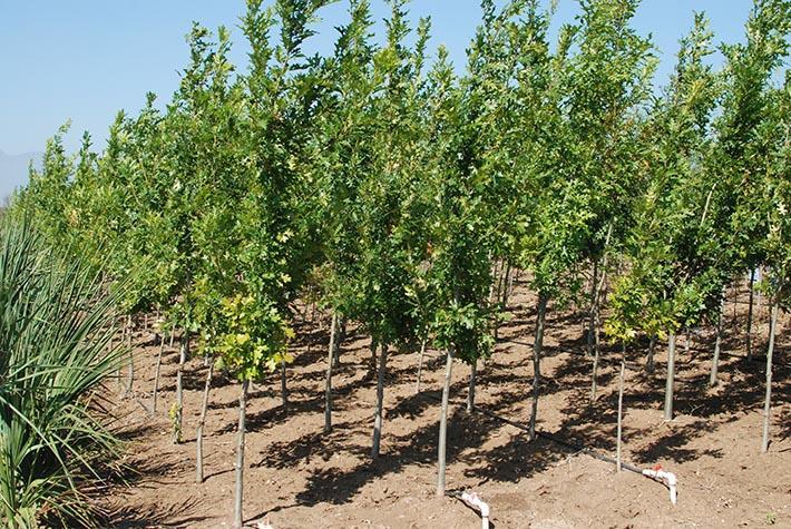 Vivero huertas encinos y mas en montemorelos tel fono y for Viveros arboles frutales