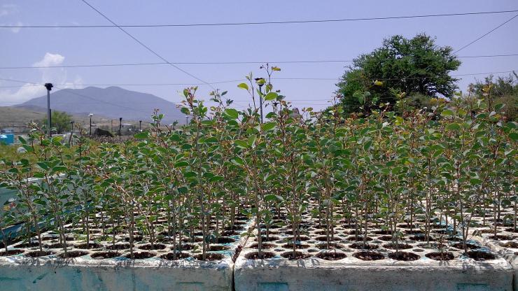 Plantas forestales de oaxaca spr de ri en ocotlan de for Plantas forestales